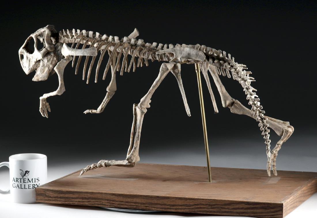 Nearly Complete Fossil Psittacosaurus Dinosaur Skeleton - 4