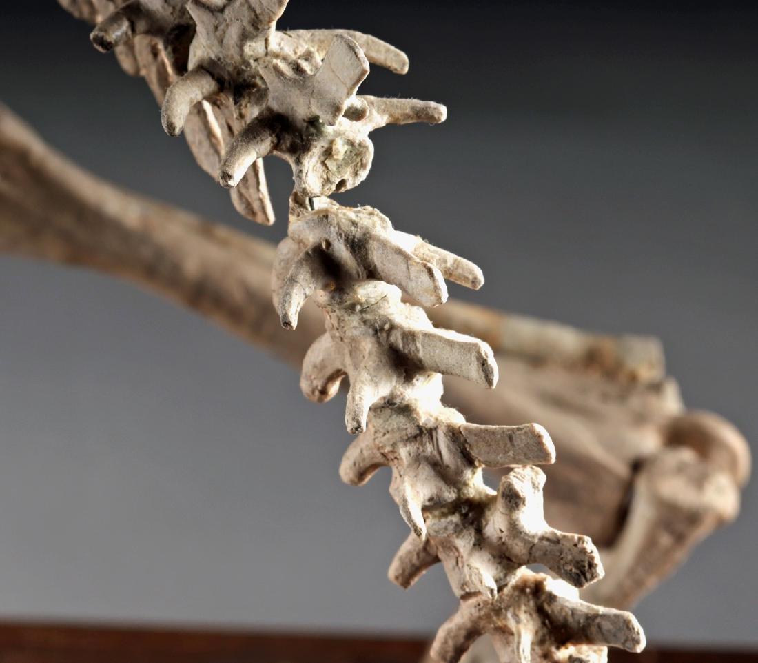 Nearly Complete Fossil Psittacosaurus Dinosaur Skeleton - 5