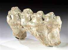 Well-Preserved Fossilized Ice Age Mastodon Molar