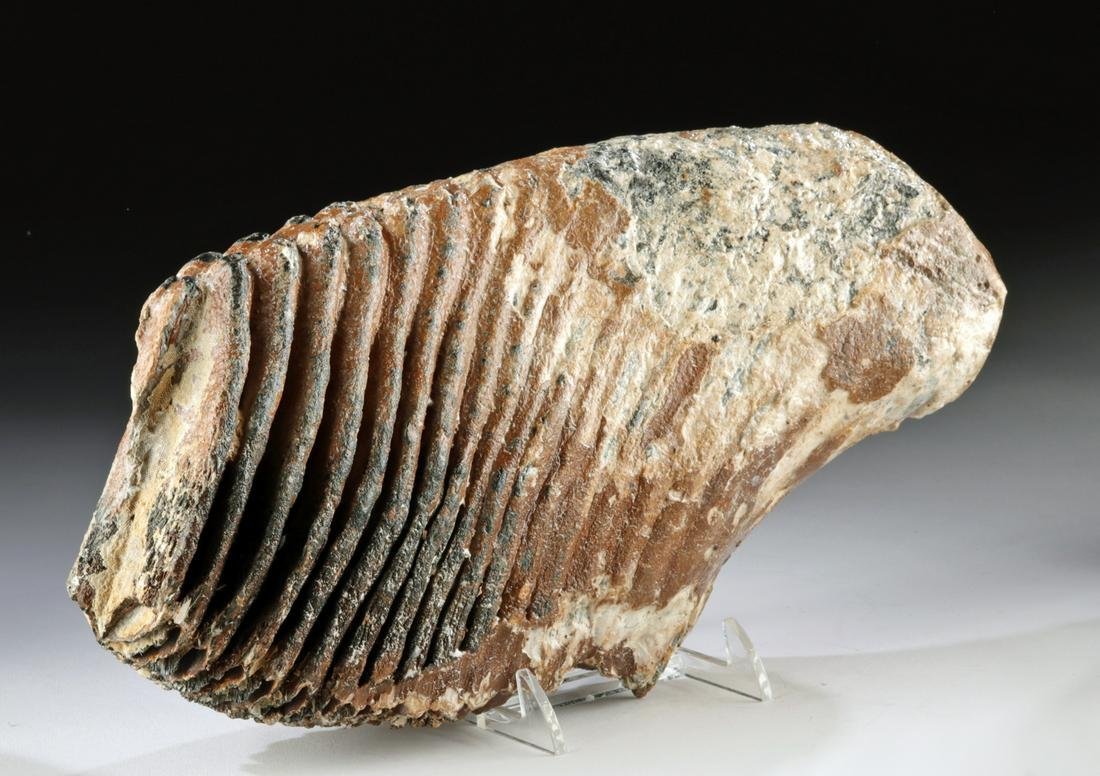 Large Fossilized Mammoth Tooth