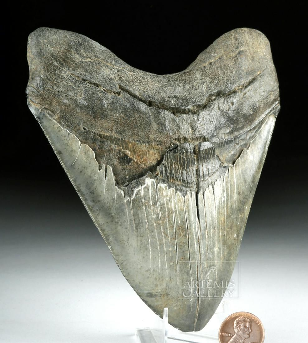 Large Megalodon Tooth from N. Carolina River