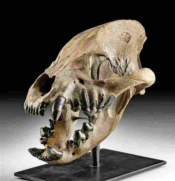 Rare Fossilized Cave Hyena Skull - Choice!