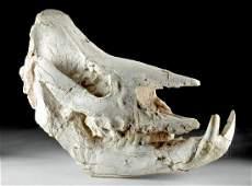Huge Fossilized Rhinoceros Skull Chilotherium Species