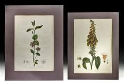 Two 19th C. British Botanical Engravings - Dr. Thornton