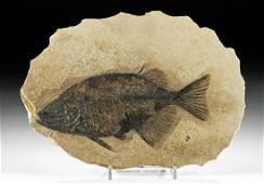 Large Fossilized Phareodus Fish in Matrix