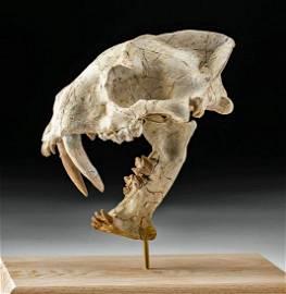 Rare Fossilized Hoplophoneus Saber Cat Skull