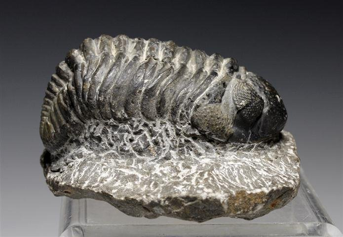 An Early Cambrian / Devonian Trilobite Fossil – Morocco