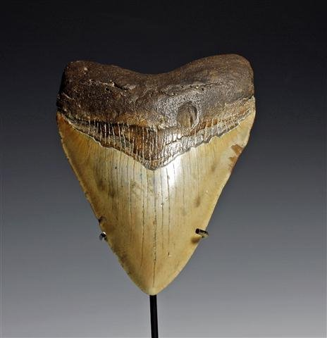 A Huge Savannah River Megalodon Shark Tooth