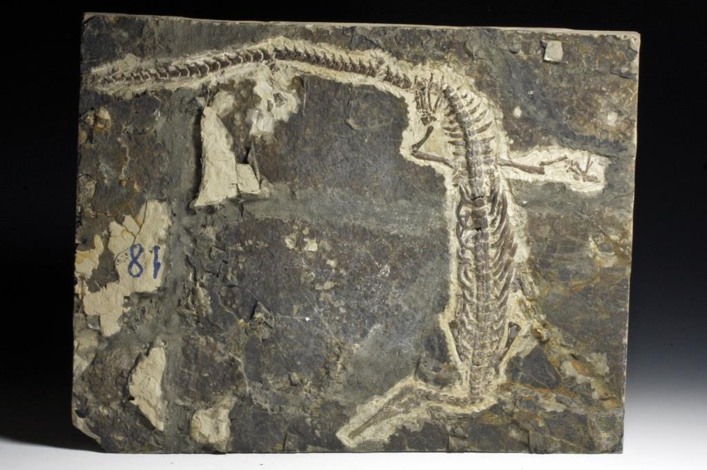 Mesosaurus Dinosaur Fossil Skeleton
