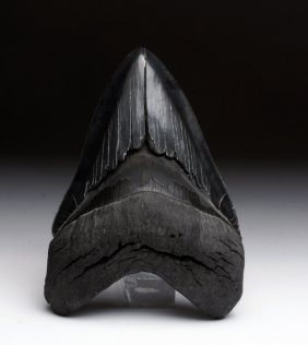 Another Large Savannah River Megalodon Shark Tooth
