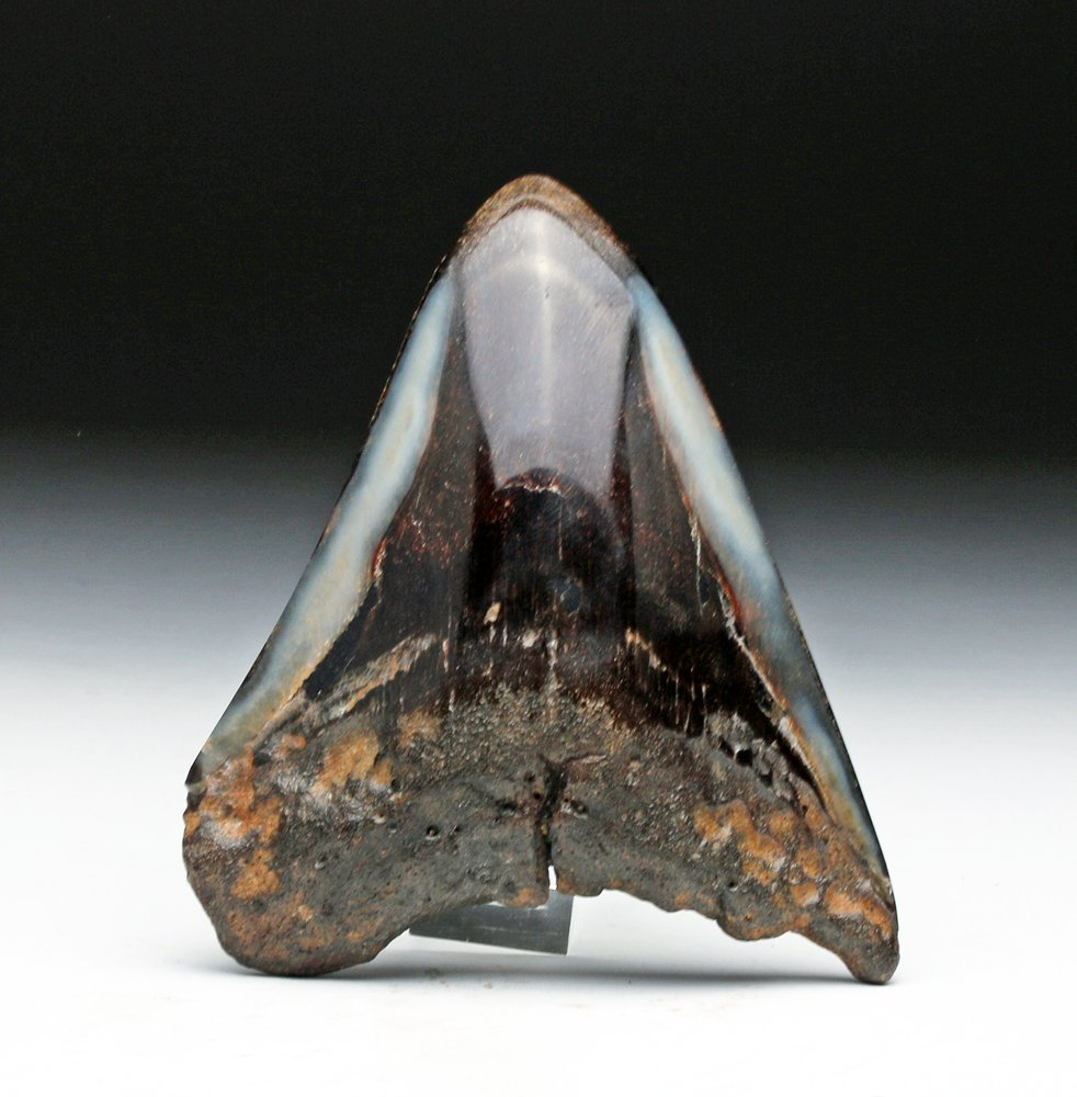 Megalodon Tooth - Nicely Polished