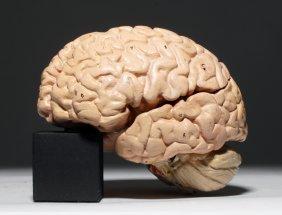 19th C. Plaster Anatomical Model Of Human Brain