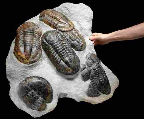 Mass Extinction Fossil Ordovician Asaphus Trilobites