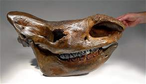 Spectacular Complete Woolly Rhinoceros Skull Fossil