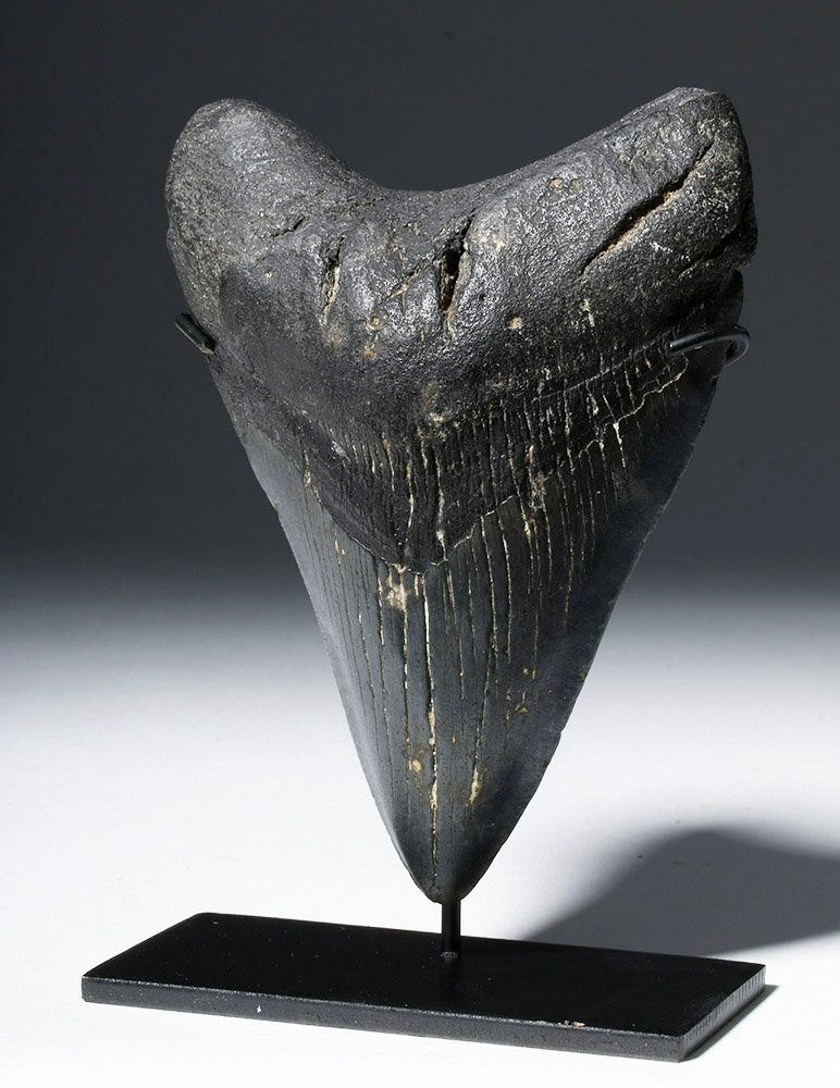 Large Black Megolodon Tooth