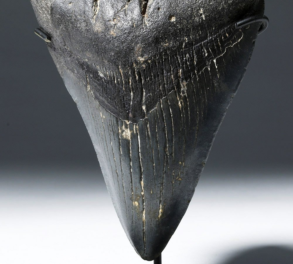 Large Black Megolodon Tooth - 6