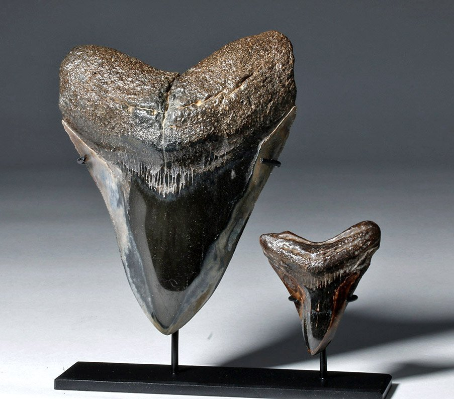 Two Gorgeous Polished Megalodon Teeth