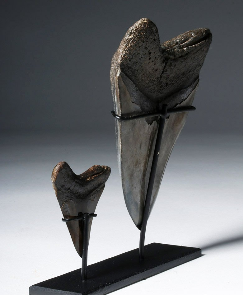 Two Gorgeous Polished Megalodon Teeth - 2