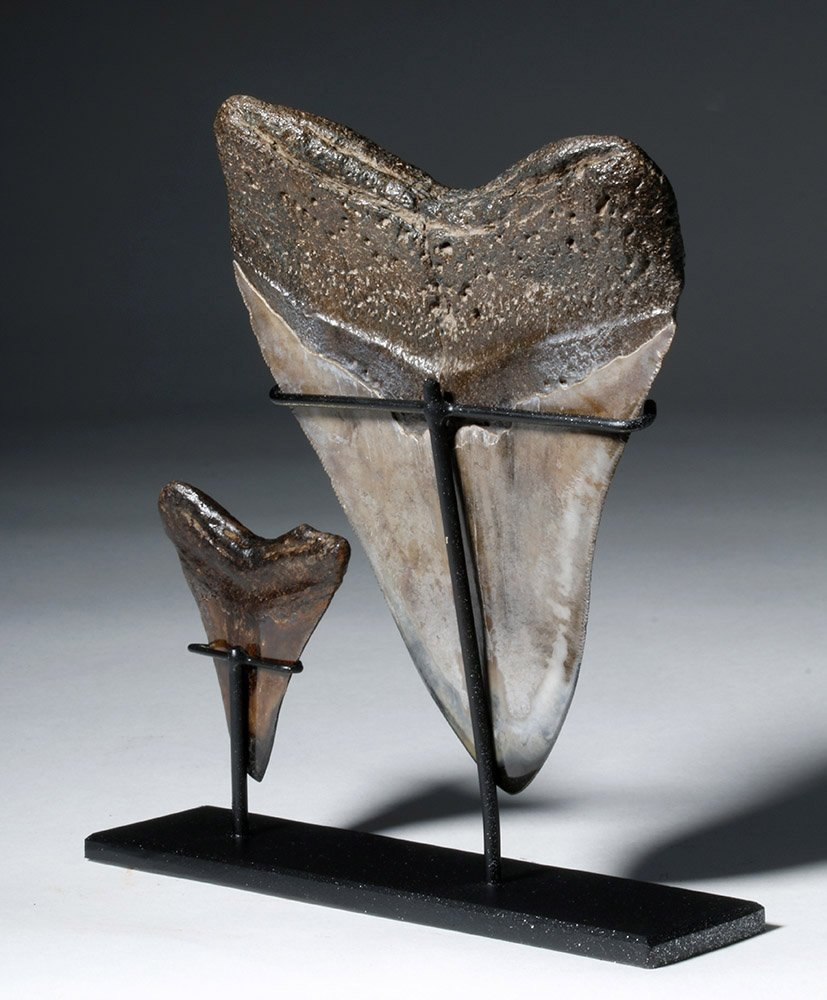 Two Gorgeous Polished Megalodon Teeth - 3