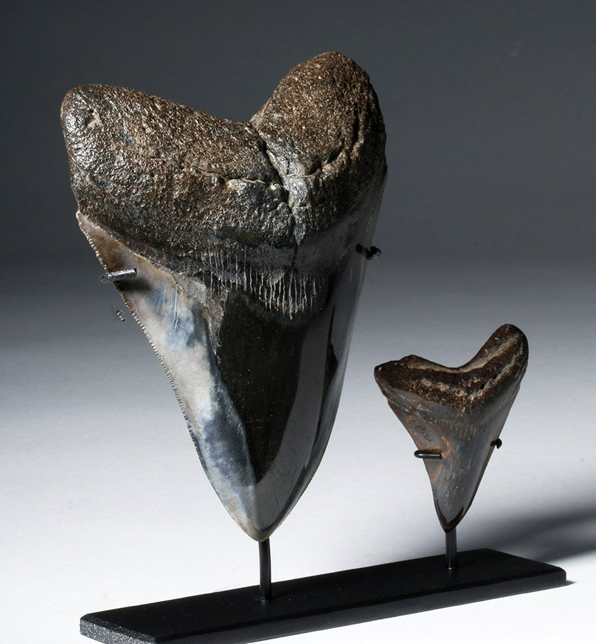 Two Gorgeous Polished Megalodon Teeth - 4
