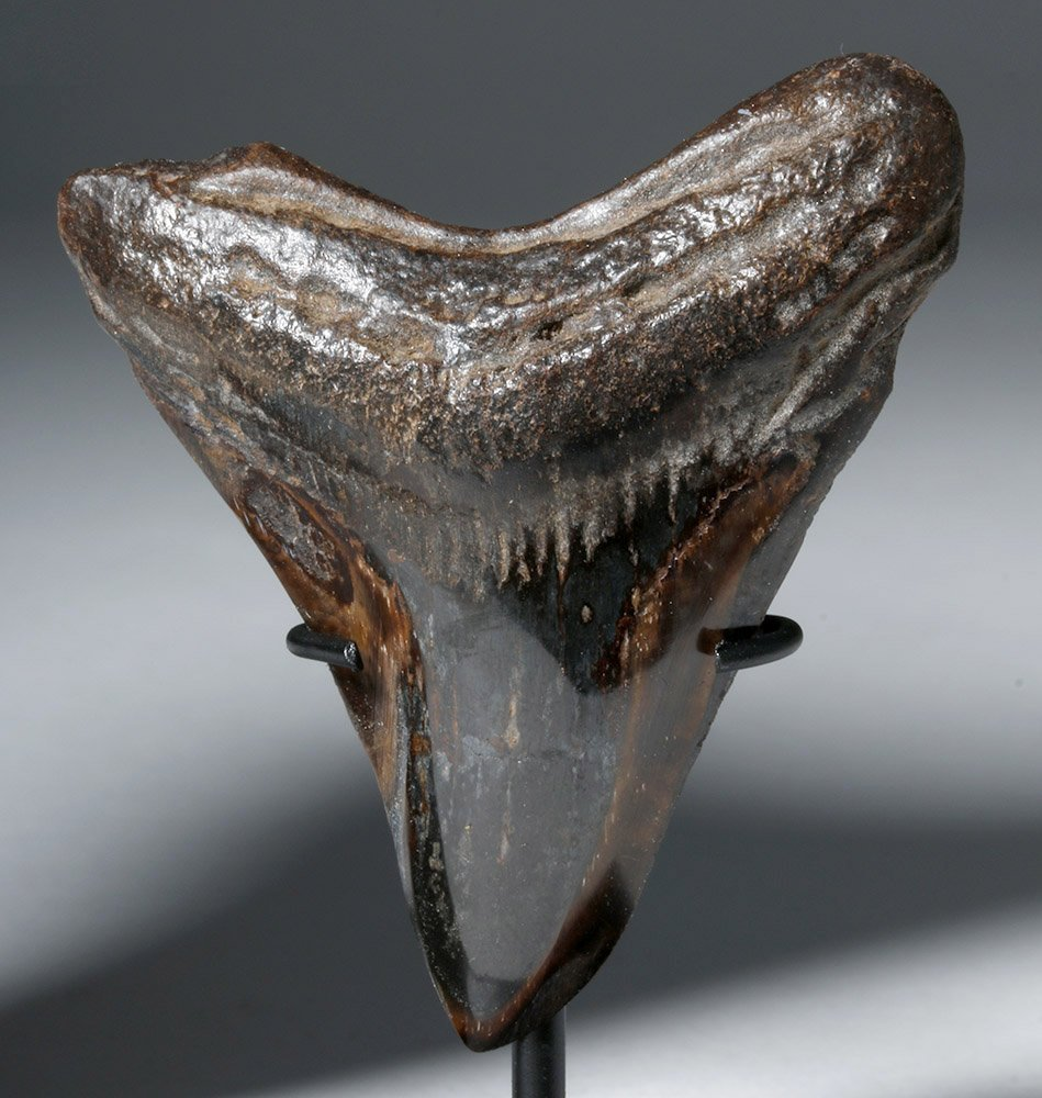 Two Gorgeous Polished Megalodon Teeth - 5