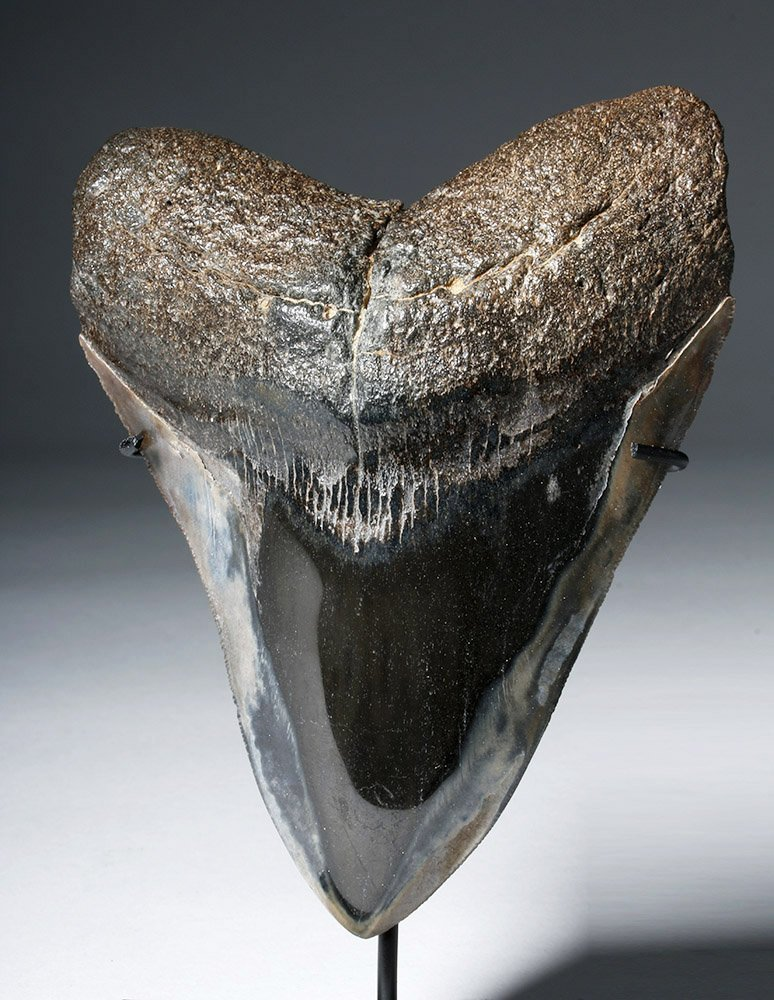 Two Gorgeous Polished Megalodon Teeth - 6