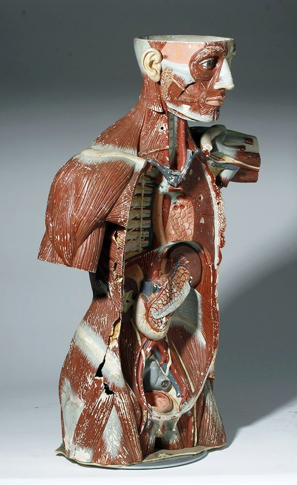 Lifesize 20th C. European Medical School Anatomy Model - 4