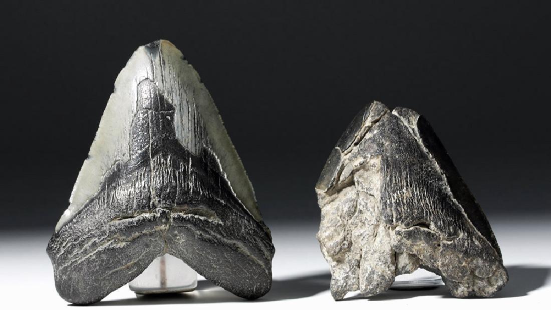 Pair of Large Megalodon Teeth