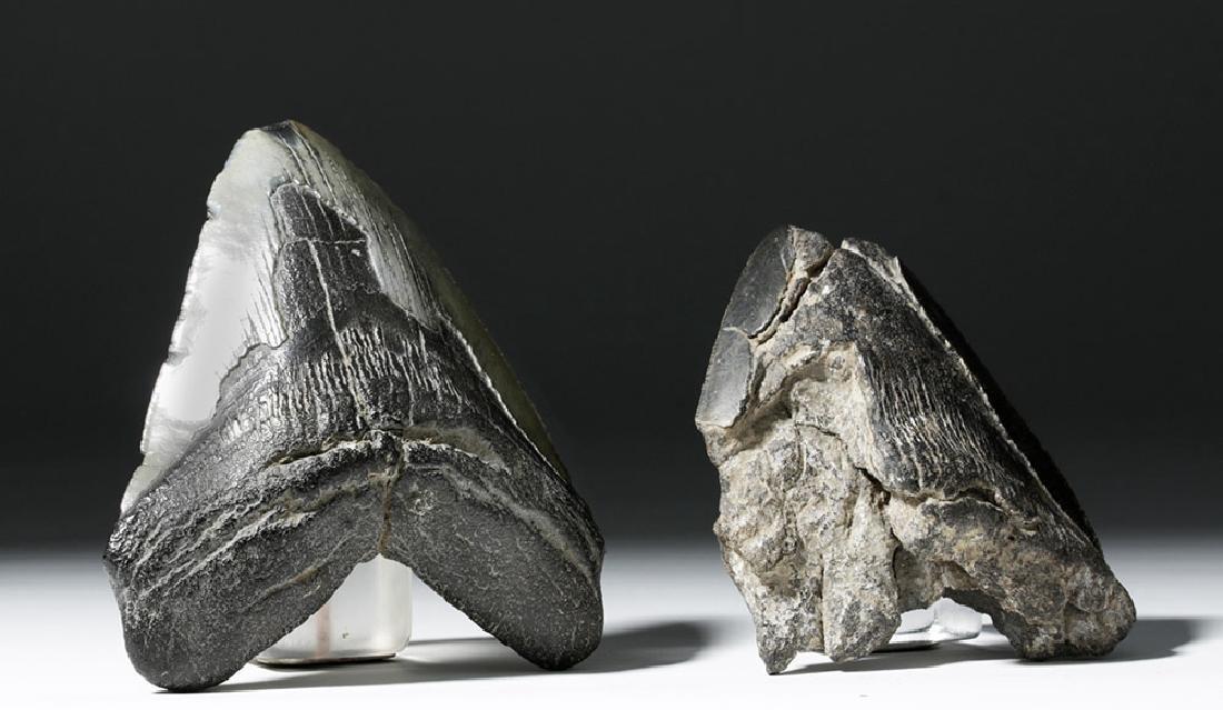 Pair of Large Megalodon Teeth - 2