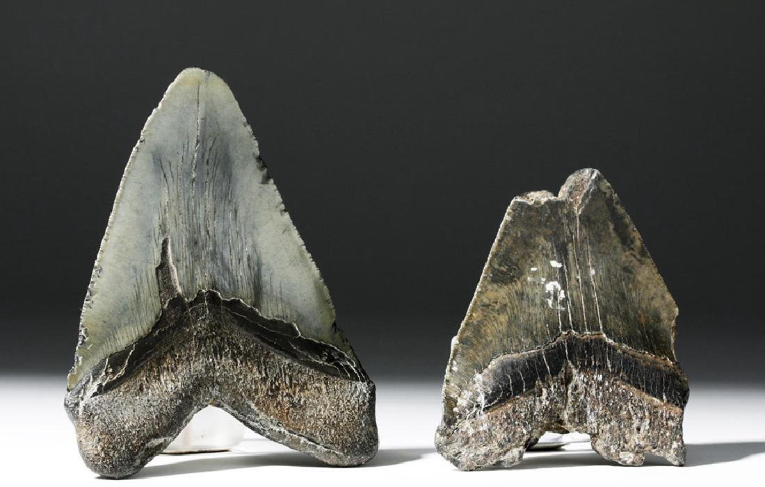 Pair of Large Megalodon Teeth - 3