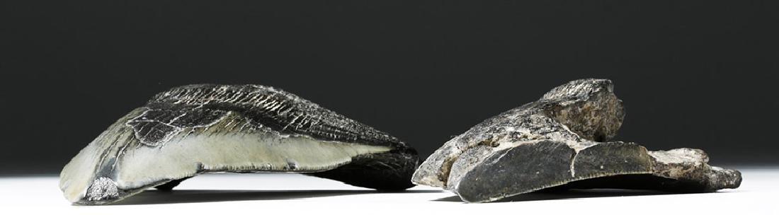 Pair of Large Megalodon Teeth - 5