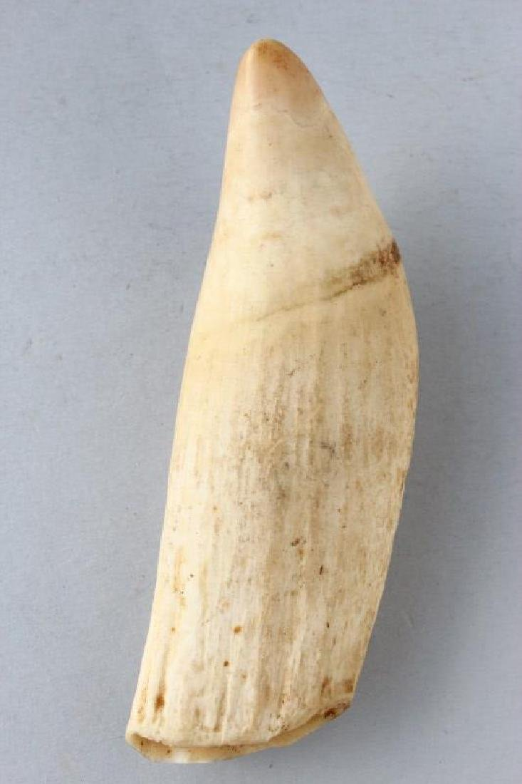 Early Whales Tooth,