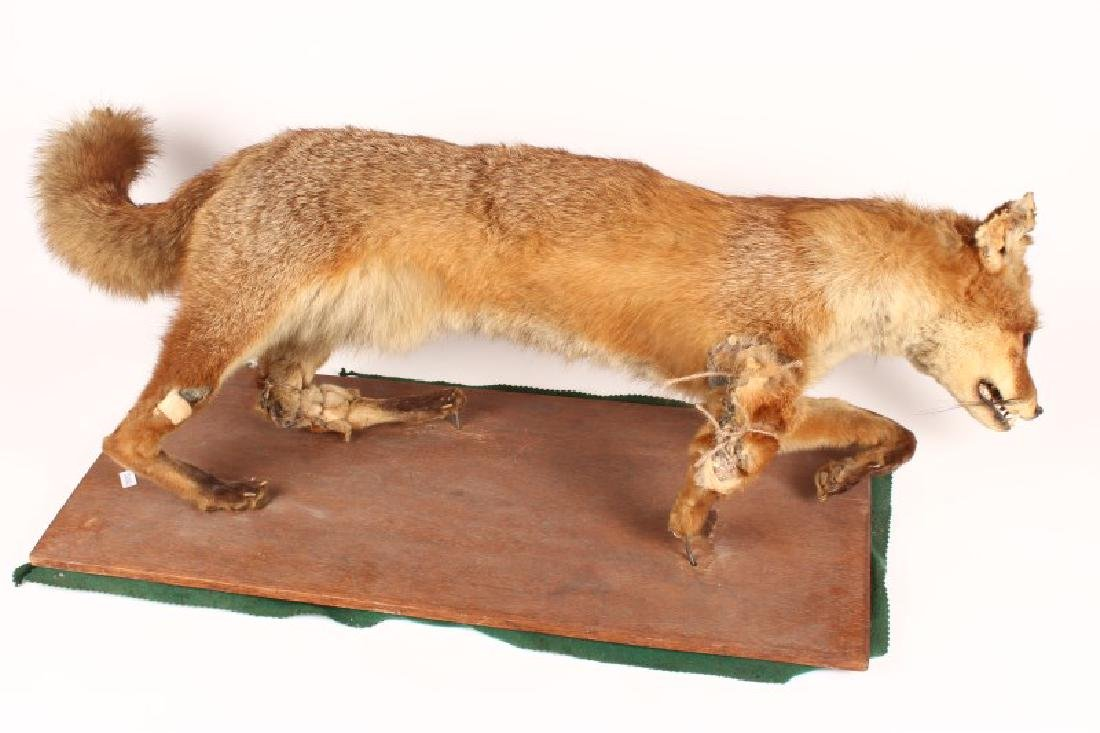 Taxidermy Fox,