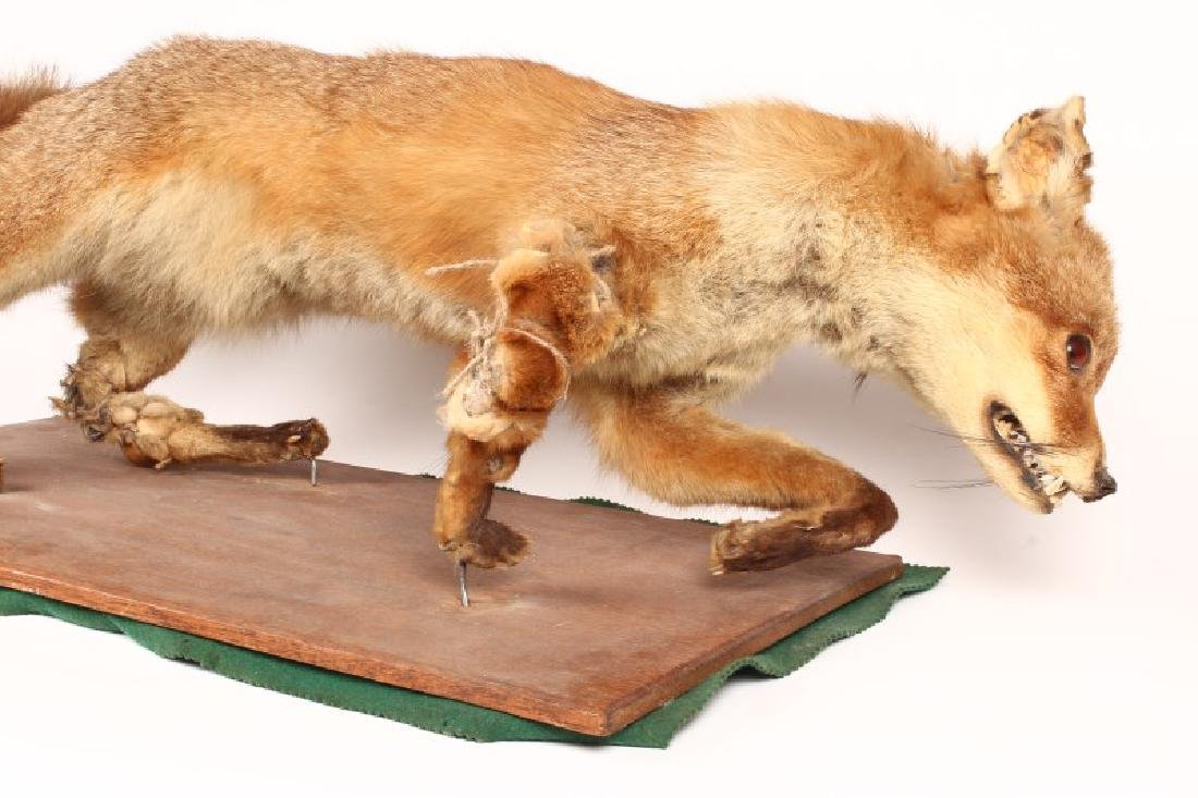Taxidermy Fox, - 2