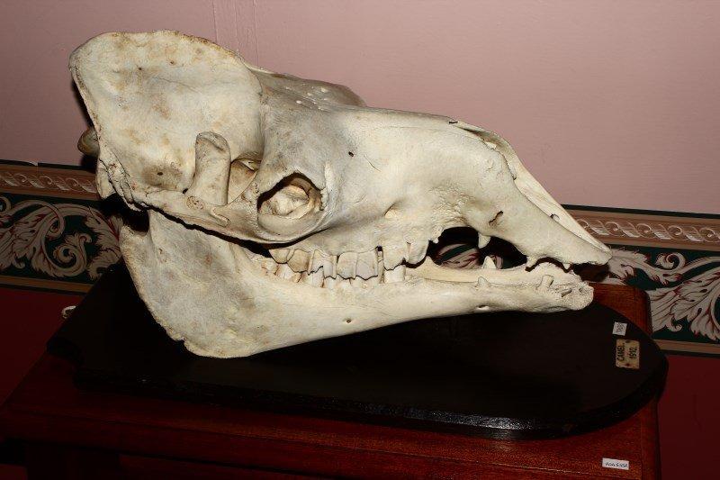 Edwardian Mounted Camel Skull,