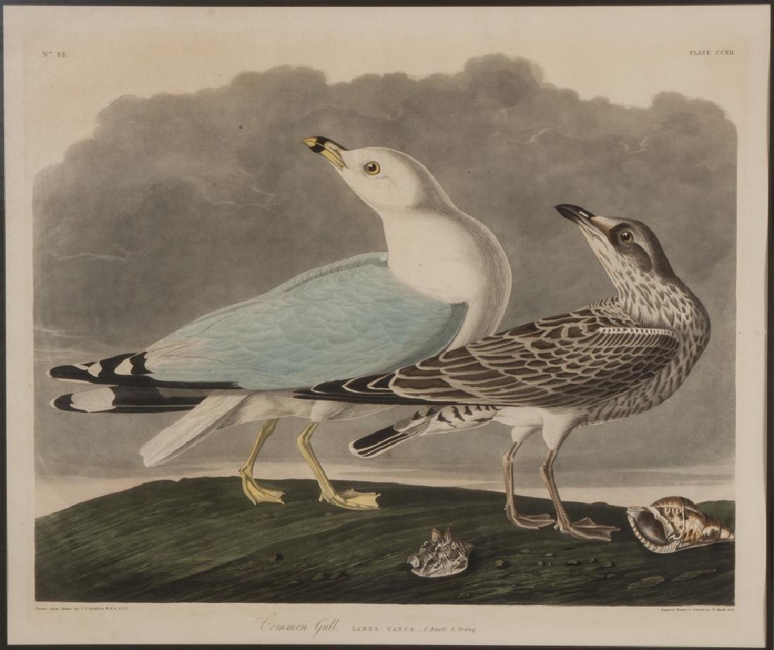 "John James Audubon (American, 1785-1851) ""Common  Gull"""