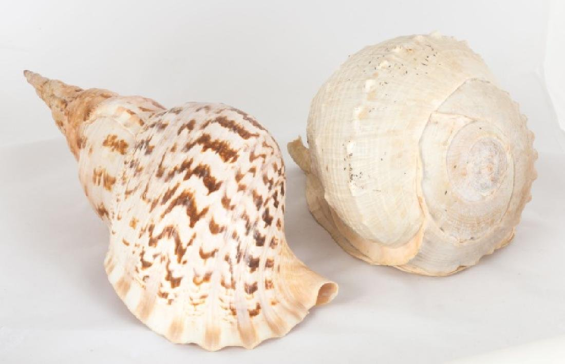 Two Large Shells
