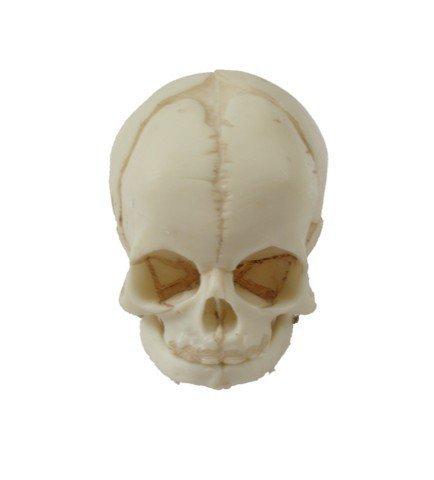 Bones TV Show Baby Skull