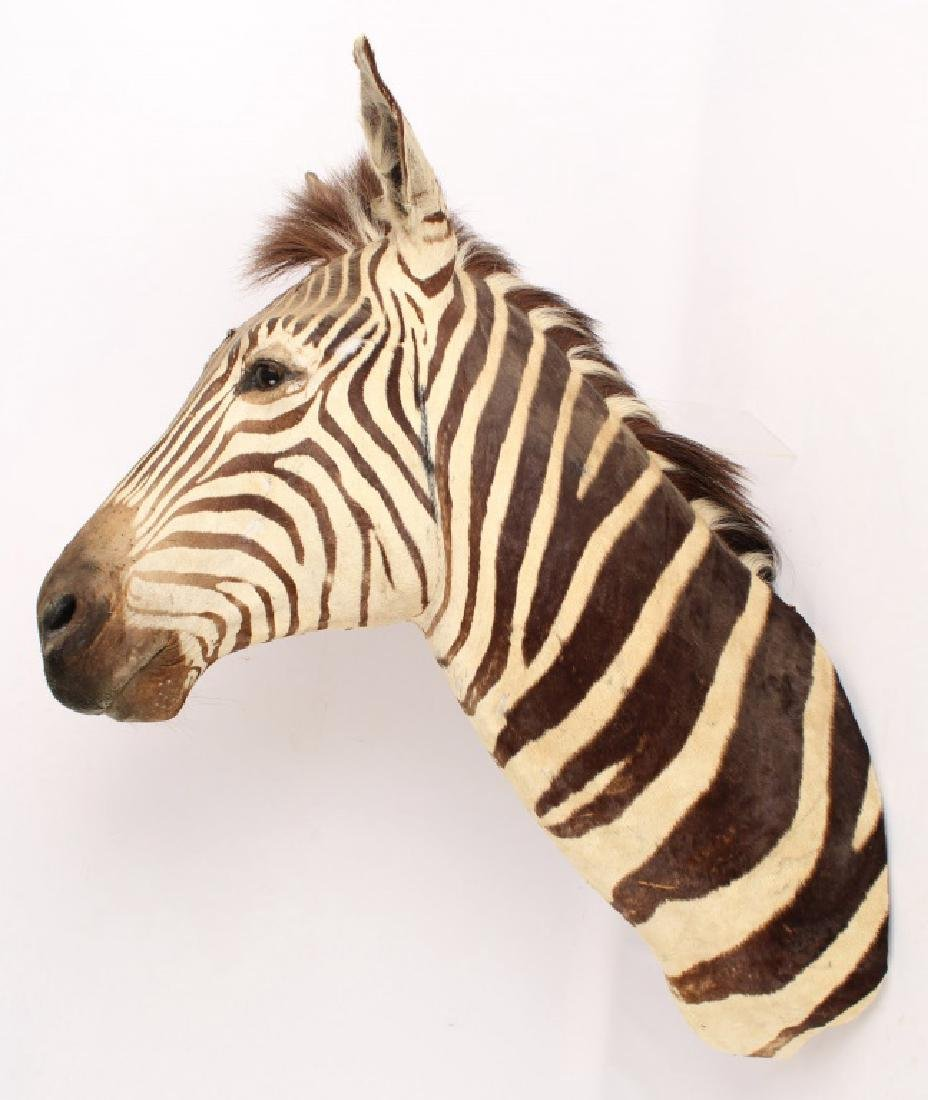 TAXIDERMY ZEBRA SHOULDER MOUNT HIEGHT 40 INCHES