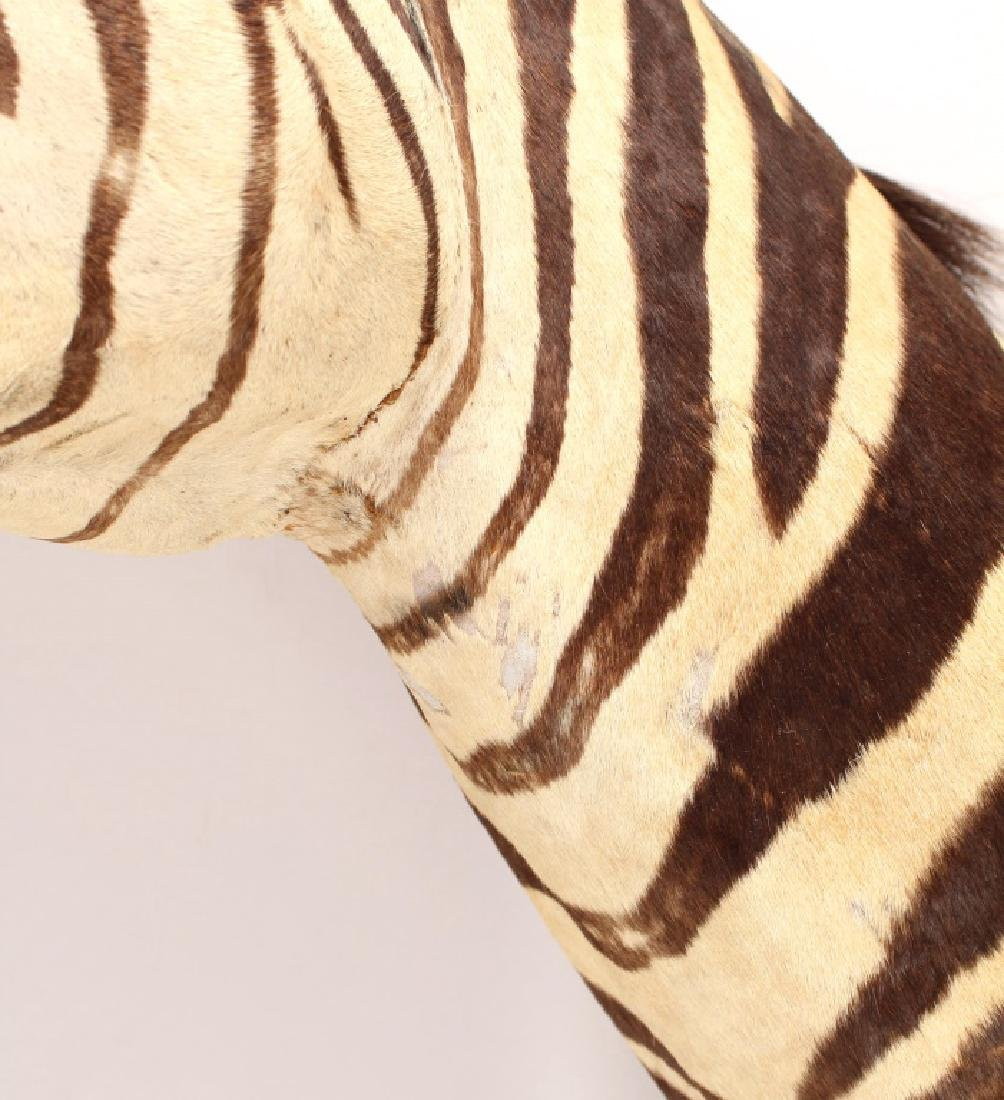 TAXIDERMY ZEBRA SHOULDER MOUNT HIEGHT 40 INCHES - 2