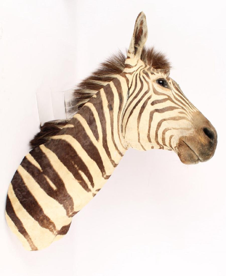 TAXIDERMY ZEBRA SHOULDER MOUNT HIEGHT 40 INCHES - 4