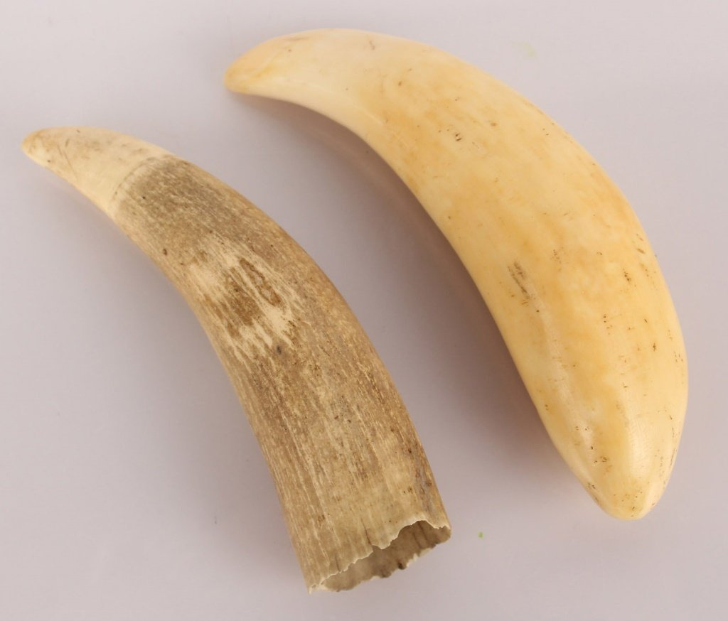LOT OF 2 UNWORKED WHALES TEETH