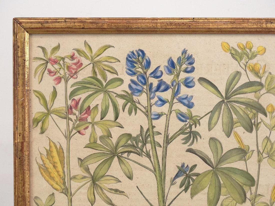 Besler Botanical Print - 2