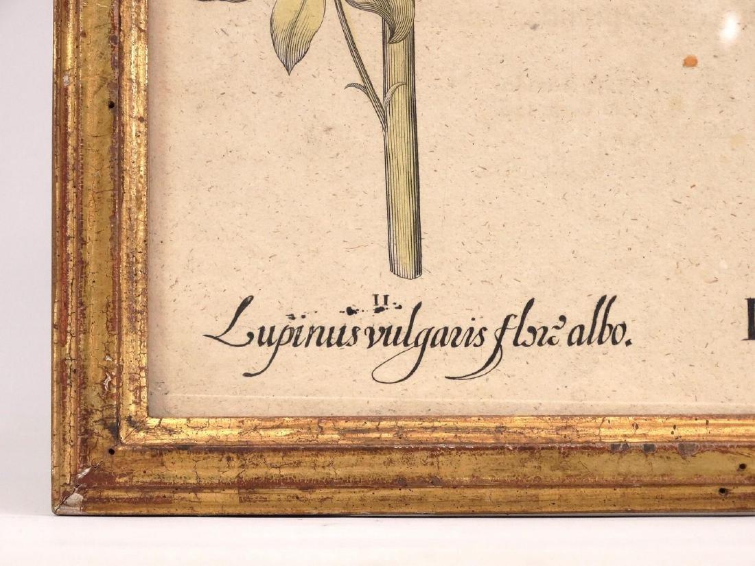 Besler Botanical Print - 3