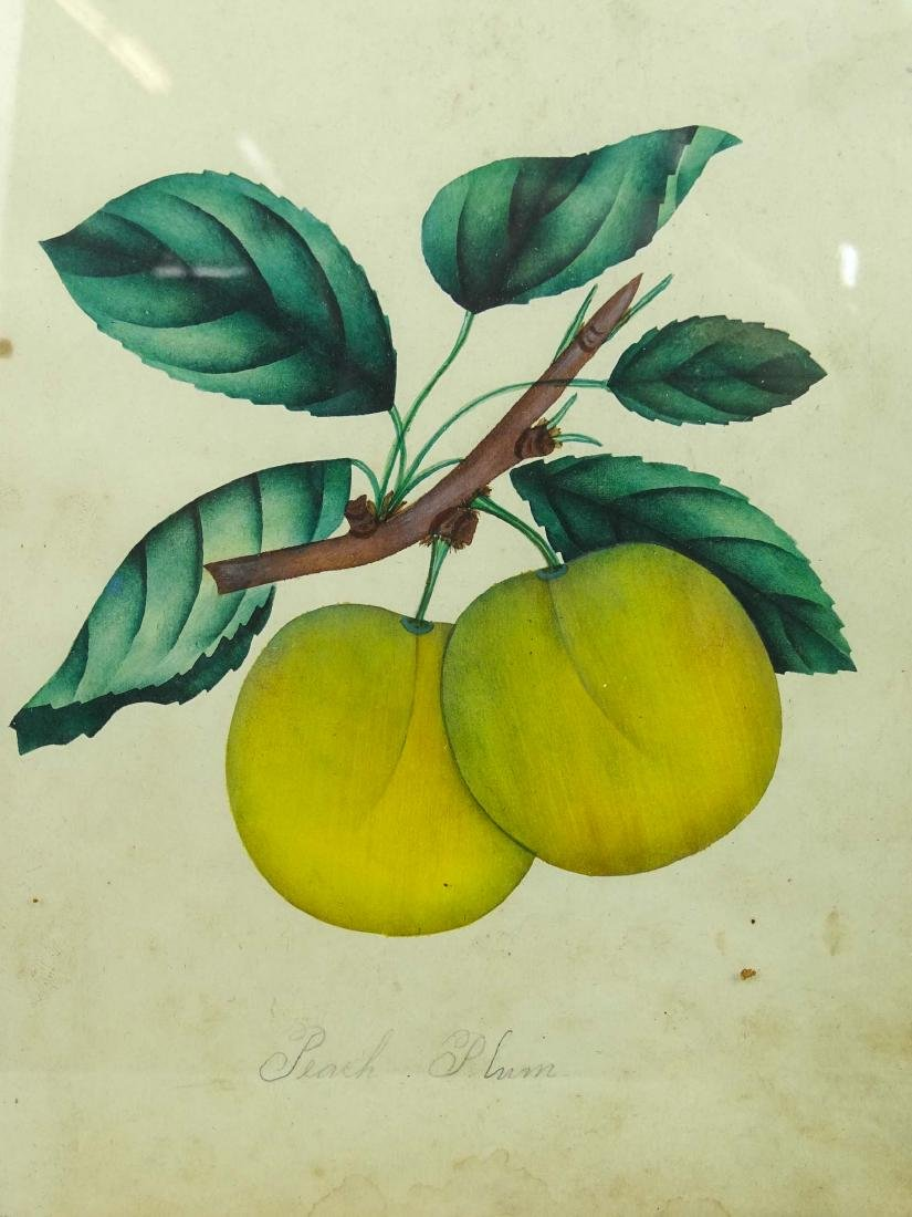 19th c. Fruit Study Watercolor - 2