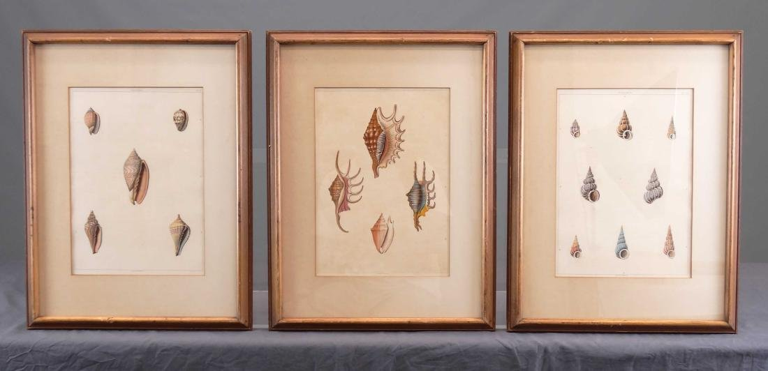 Early Shell Sea Life Study Prints