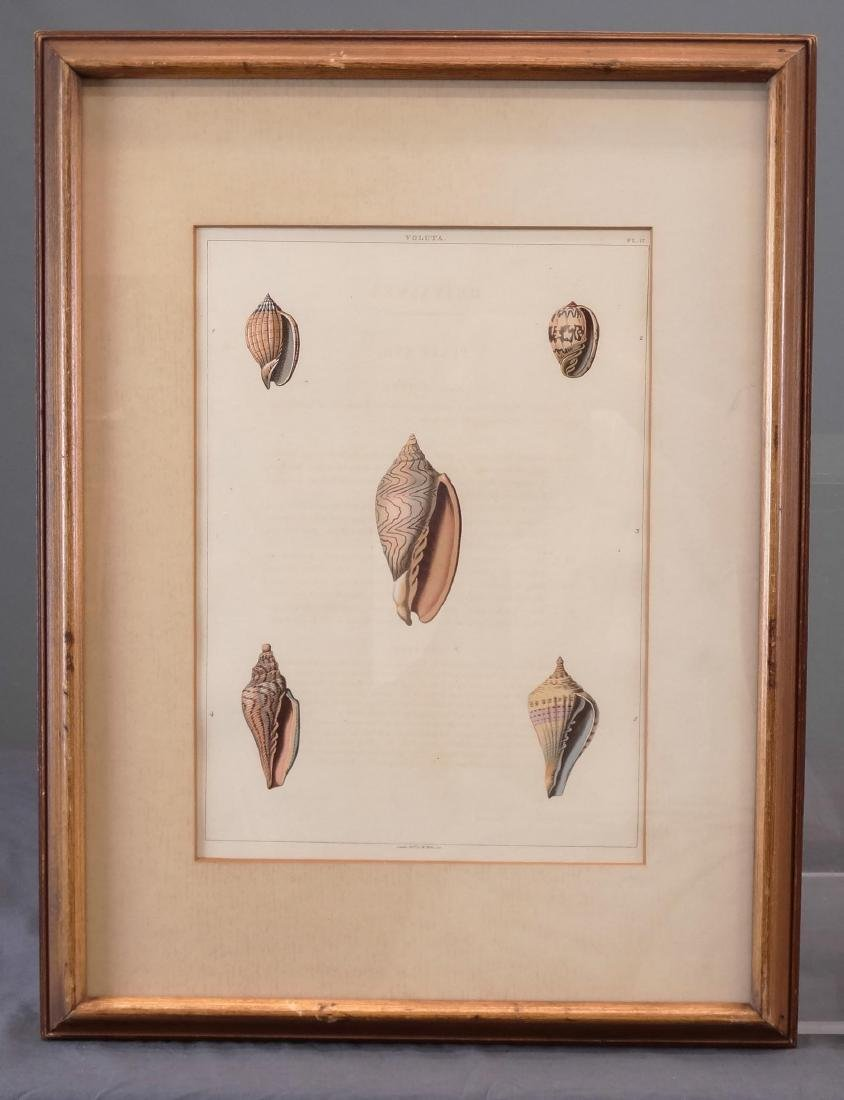 Early Shell Sea Life Study Prints - 2