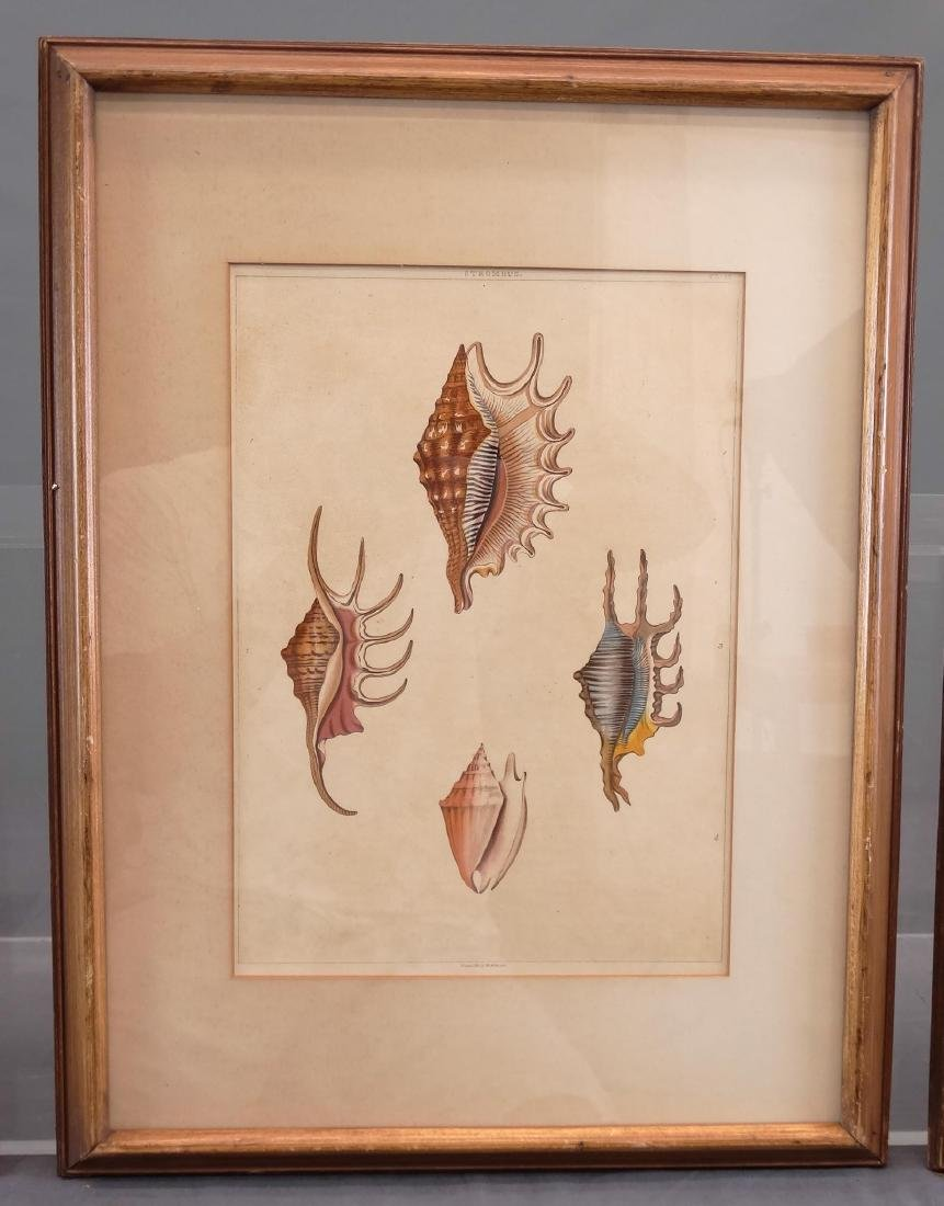 Early Shell Sea Life Study Prints - 5