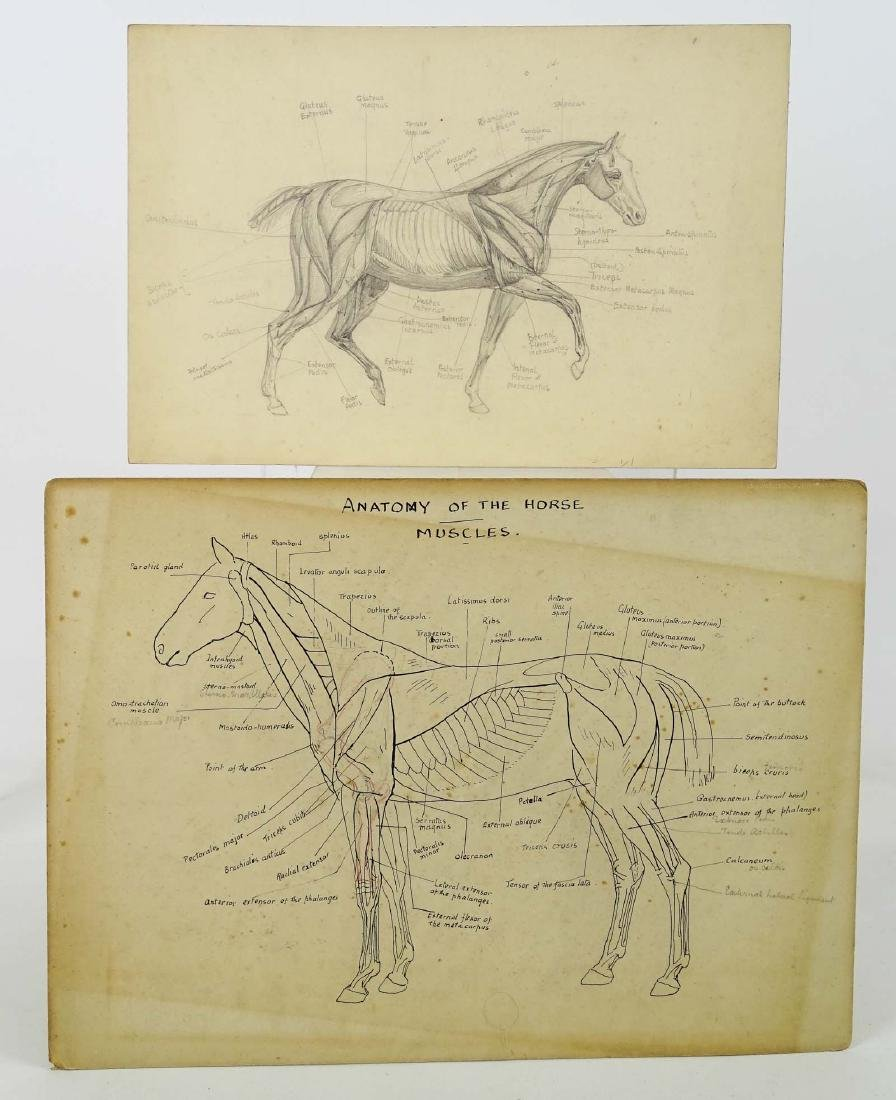 Early Horse Anatomy Drawings