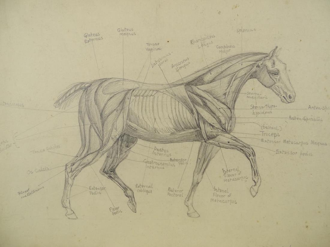 Early Horse Anatomy Drawings - 2
